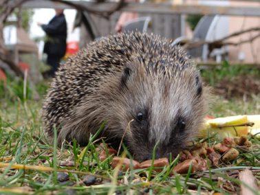 hedgehog-970237_640
